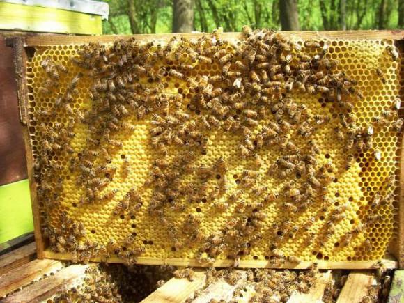 Brutwabe-DN-mit-Bienen